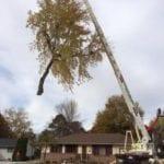 Giant_tree_crane_pick
